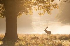 Golden Mornings (LawrieBrailey) Tags: park uk morning light red wild england urban mist male london photography golden photo nikon stag britain wildlife richmond deer 300mm hour british nikkor d3 afs rut f40 lawrie brailey nonvr