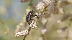 319A0359 Flower Chafer-Scarab Beetle, Cetonidae? Al Ain, Abu Dhabi (Priscilla van Andel - Travelling) Tags: abudhabi scarabbeetle flowerchafer cetonidae cetonidaealain
