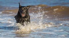 Making waves. (Marcus Legg) Tags: blue sea dog pet black max beach water canon outdoors happy eos seaside jumping shiny labrador waves play bokeh joy retriever splash blacklabradorretriever wetdog magicdrainpipe ef80200mmf28l 1dmarkiv marcuslegg