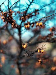Berries - part 2 (Wouter de Bruijn) Tags: orange plant nature fruit bush berry flora berries bokeh grain depthoffield fujifilm shrub noise thorn xt1 fujinonxf90mmf2rlmwr