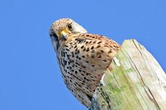 I've got my eyes on you! - Estou a topar-te! (Yako36) Tags: bird portugal nature wildlife natureza ave birdwatching peniche ferrel tc14e biodiversidade nikonafs300f4 nikond7000