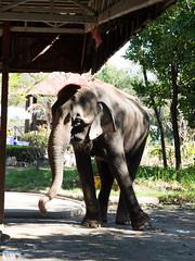P1092439 (tatsuya.fukata) Tags: elephant thailand crocodile samutprakan crocodilefarm