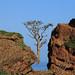 Frankincense tree, above Rosh, Socotra, Yemen