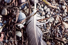macro of an old feather laying on a beach (Armin Staudt) Tags: old macro bird abandoned beach nature stone closeup lost one sand outdoor background feather blurred nobody dirt pebble single weathered algae textured