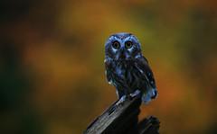 Saw Whet Owl (ashockenberry) Tags: