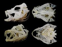Crâne de Poisson-Lion / LionFish Skull (Pterois sp.) (JC-Osteo) Tags: fish skeleton skull bones bone cranium lionfish poisson scorpionfish crâne scorpaenidae skelett squelette rascasse pterois osteology scorpaeniformes poissonscorpion poissonlion ostéologie jctheil