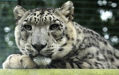 Snow Leopard - Mizi & Ranschan 01 b (Artemis1947) Tags: bigcats infocus highquality wildlifeheritagefoundation692011 whfheadcornkent snowleopardmiziranscan
