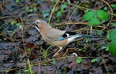 Jay 18 1 2016 (Rattyman76) Tags: bird jay feeding sony corvid leightonmoss rsbp a7rii