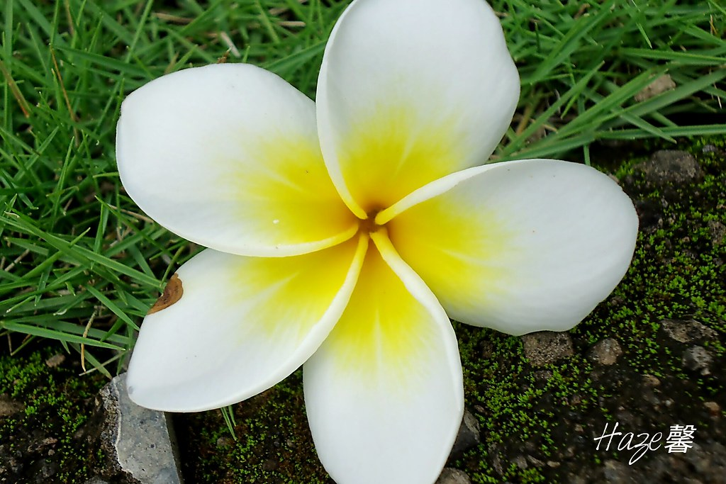 The Worlds Best Photos of indonesia and plumeria  Flickr Hive Mind