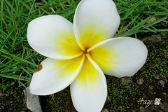 Plumeria Flower (Haze0709) Tags: flowers bali indonesia plumeria culture hawaiian tropical frangipani bunga hinduism hawai tropicalflower kamboja bungakamboja kambojaflower
