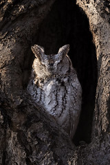 Eastern Screech-Owl / Petit-Duc Macul (FRITSCHI PHOTOGRAPHY) Tags: owl easternscreechowl petitducmacul screetchowl
