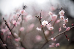 pink & white (_Count_Zero) Tags: ume umeblossoms