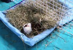 Scatter & his blankie #1 10.6.15 (grannyju1) Tags: pets guineapig oct scatter 2015