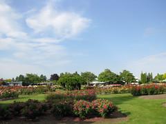 Frimley Park Rose Garden