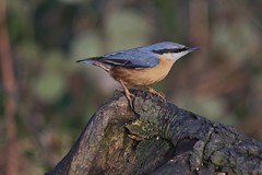 Nuthatch (sam_breed) Tags: uk wild bird love nature canon photography nikon outdoor wildlife small fast sharp nuthatch 700d