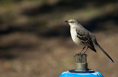 Bird on Hydrant (Vimlossus) Tags:
