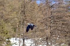 airone (MILESI FEDERICO) Tags: wild italy nature nikon europa europe italia nat natura piemonte dettagli tamron alpi piedmont valsusa milesi alpicozie valledisusa d7100 visitpiedmont altavallesusa altavaldisusa valliolimpiche nikond7100 milesifederico