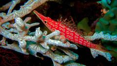 Langnasenbschelbarsch... (sylviafurrer) Tags: uw unterwasser unterwater longnosehawkfish langnasenbschelbarsch langschnauzenkorallenwchter