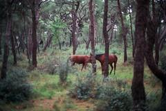 55-33 (alivahid) Tags: wild horse film analog canon 50mm islands iso200 f14 analogue canona1 asa200 fujicolor adalar princeislands fujicolorc200