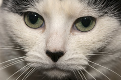 February 2nd 2016 - Project 366 (Richard Amor Allan) Tags: macro cat fur nose eyes feline lola whiskers moggy