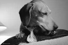 HELGA (Marco San Martin) Tags: portrait blackandwhite dog blancoynegro beautiful portraits nice nikon funny interior dachshund doggie mydog doxie salchicha dachshundlovers marcosanmartin