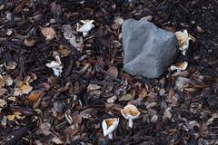 Hygrophorus roseibrunneus (flygrl67) Tags: red brown white macro beach nature mushroom canon woodland coast oak live tan michelle canyon fungi caramel cap valley kingfisher 5d waxy blush centralcoast wavy slo avila slimy markii sanluisobispocounty harford quercusagrifolia mycorrhizal woodwax viscid ectomycorrhizal ef100mmf28lisusmmacro hygrophorusroseibrunneus ef10028lisusmmacro torresgrant