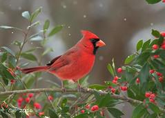 Cardinal 1  2-9-16 (Cal-Photo) Tags: bird cardinal tennessee backyardbirds middletennessee