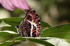 Glorious Begum (Agatasa calydonia) (moloch05) Tags: malaysia taman negara