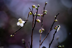 Little plum flower (ys.khoo) Tags: flowers winter light white japan garden nikon kanazawa kenrokuen blooming plumflower photograpgy nikoncenter yskhoo