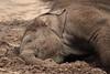 Asiatic Elephant Sunay (K.Verhulst) Tags: elephant rotterdam blijdorp elephants blijdorpzoo olifanten diergaardeblijdorp sunay asiaticelephants aziatischeolifanten