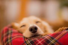 IMG_3322 (yukichinoko) Tags: dog dachshund 犬 kinako ダックスフント ダックスフンド きなこ