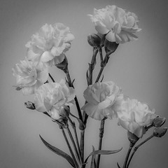 Flowers in black and white (MacBeales) Tags: flowers plants white black canon eos 350d petals stems buds