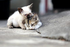 Valentine's Day of Kittens (grass-lifeisgood) Tags: pet animal cat canon is kitten play friendship 100mm ii closeness ef intimacy interaction behaviour f28l