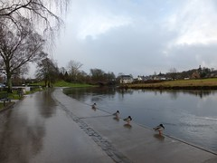 Weather for ducks, Callander (luckypenguin) Tags: winter river scotland stirling perthshire ducks callander teith easgobhain