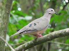 Zenaida auriculata. Paloma Sabanera. Eared Dove (C.A.Villalba) Tags: eareddove zenaidaauriculata palomasabanera