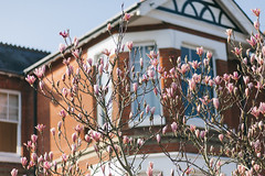 Magnolia in the suburbs (angies) Tags: pink flowers canon spring blossom 85mm magnolia mk2 5d f18 mkii