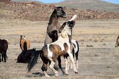 Wild Horse Play (rangerbatt) Tags: