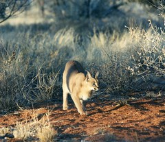 , South Africa (Animal People Forum) Tags: africa wild animals southafrica feline bigcat mammals caracal freeranging