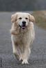 Einstein (HendrikSchulz) Tags: dog dogs goldenretriever einstein retriever hund hunde dogphotography animalphotography whitegoldenretriever hundefotografie hendrikschulz hendriktschulz weissergoldenretriever