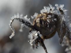 1. rosebud (sokram777) Tags: winter snow macro ice snowflakes 1 outdoor rosebud 365 icecrystal gh4 carlzeissjenaflektogon