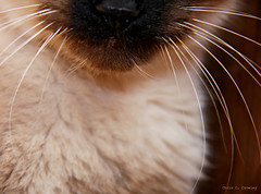 Whiskers (Chris C. Crowley) Tags: pet animal cat kitten feline chest kitty siamese whiskers chin barrymore siamesemix abstractportrait