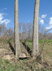 Skinny-legged tree pair. (Tim Kiser) Tags: park trees minnesota landscape view unitedstates minneapolis april twincities 2009 longfellow twotrees citypark hiawatha treetrunks southminneapolis minneapolisstpaul minneapolisminnesota minnehahapark pairoftrees hennepincounty mostlysunny april2009 img3972 hennepincountyminnesota minneapolissaintpaul hiawathaneighborhood longfellowcommunity minneapolislandscape 20090421 minnehahaparklandscape skinnytreetrunks