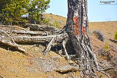 Pine Roots (zulkifaltin) Tags: tree green nature pine village earth hill roots kk am aa tepe keleki