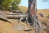 Pine Roots (zulkifaltin) Tags: tree green nature pine village earth hill roots kök çam ağaç tepe kelekçi
