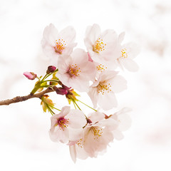 Purity (H.H. Mahal Alysheba) Tags: flower macro japan cherry lumix cherryblossom sakura elmarit 45mmf28 gx7 leicadg