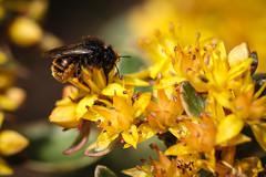 Little Bee (Oliver Konz) Tags: sommer gelb garten nahaufnahme wildbiene osmiabicolor