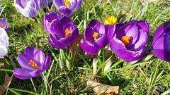 Purple and Gold (grinnin1110) Tags: flowers germany de deutschland flora europe hessen outdoor frankfurt blossoms crocus daytime blooms botanicalgarden palmengarten frankfurtammain croci crocuses hesse iridaceae irisfamily corm frankfurtam crocusvernus siesmayerstrase