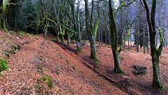 (stuant63) Tags: wood trees forest woodland scotland avenue beech glenlyon bridgeofbalgie meggernie