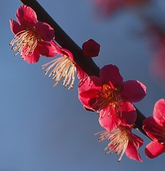 2016_02_0100 (petermit2) Tags: spring blossom priory nottinghamshire blyth prunus hodsock hodsockpriory prunusmume