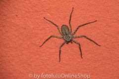 Argentinien_Insekten-91 (fotolulu2012) Tags: tierfoto
